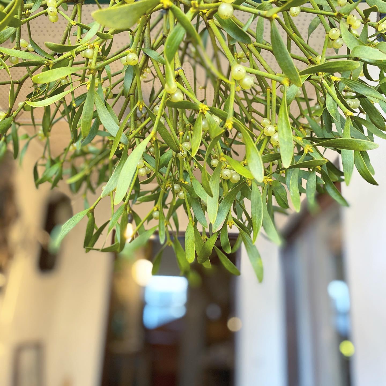 ・こんにちは・わくわくする企画のお知らせです・11月29日(日)KIKONOにてヤドリギとパンの販売会を行います・「幸せを運ぶヤドリギとパン」2020年11月29日(日)11:00 - 16:00KIKONO 店内にて・・木々の葉が落ちて寒くなる季節には、妖精たちが暖かい隠れ場所を探してヤドリギに集まっています。昔からの言い伝えです。幸せを運んでくれるヤドリギ。かわいい葉っぱと実をお家に飾り、どうぞクリスマスの準備にお役立ていただければと思います・群馬から @mmistletoes さんが貴重なヤドリギを運んでくださいます。山に入って採取された大小様々なヤドリギ、そして南京ハゼのみつきの枝や野ばらの実の枝などもお持ちくださいます。・・そして当日はこの冬オープン予定入間市の心温まるパンのお店Noufuさん @noufu.pain がパンをご用意してくださることになりました。・食へのこだわりが詰まった美味しいパンがいただけます。・先日のKODAWARIのいとでも大人気でした・・特別なこの機会です・やさしい時間を皆様と過ごせること楽しみにしています・・・#ヤドリギ#パン#kikono #幸せ運ぶ#クリスマスの準備#noufu